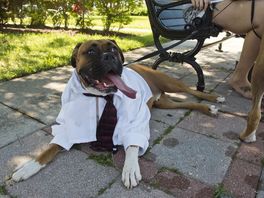 A Boxer dog laying on the sidewalk dressed in an Mans white dress shirt and tie.