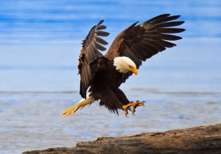 A picture of a bald Eagle making a landing in Alaska