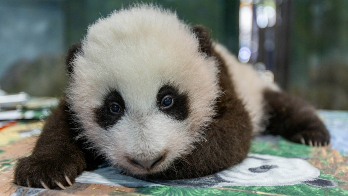 New Panda Cub at the National Zoo looking for a name.