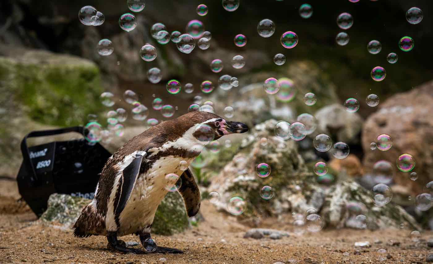 Pickles the penguin enjoys playing with their new bubble maker at the Newquay Zoo in Cornwall UK