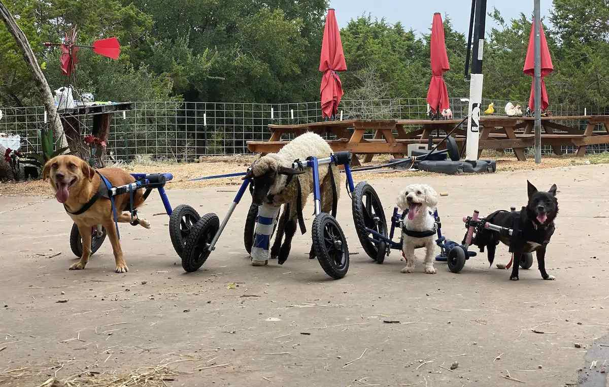 Picture of injured dogs at dog rescue in austin. At This Farm, Children With Special Needs Connect With Injured Animals to Form Healing Friendships