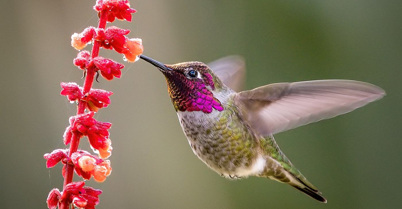 Why Hummingbirds Hum - A Picture of a Humming Bird feeding on nectar.